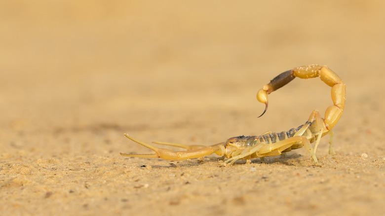 scorpion on the ground