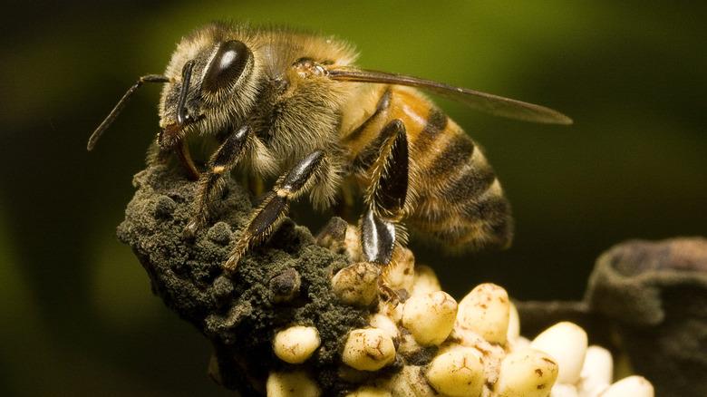 Africanized bee in Anthurium Andraeanum