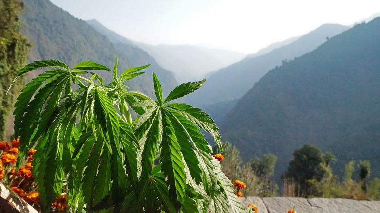 A marijuana plant near mountains