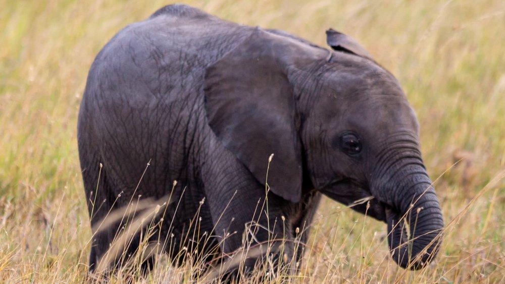 Baby elephant sucking on trunk