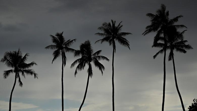 Honolulu palm trees