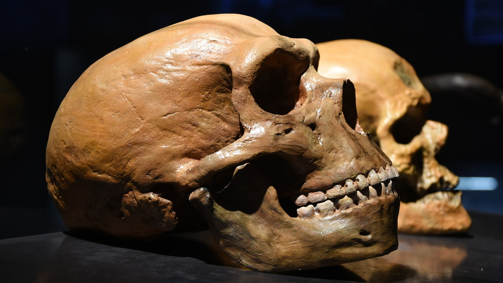 Neanderthal skull (front), human skull (rear)
