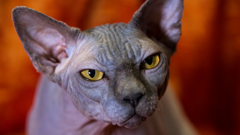 sphynx cat nine lives