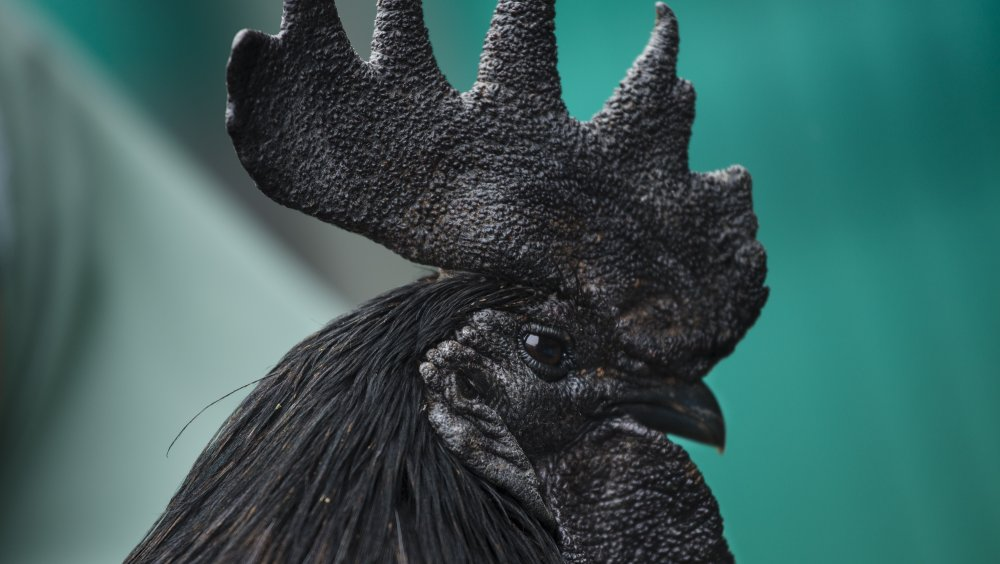 black rooster ayam cemani