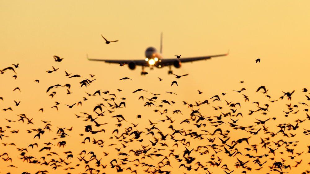 Plane with birds