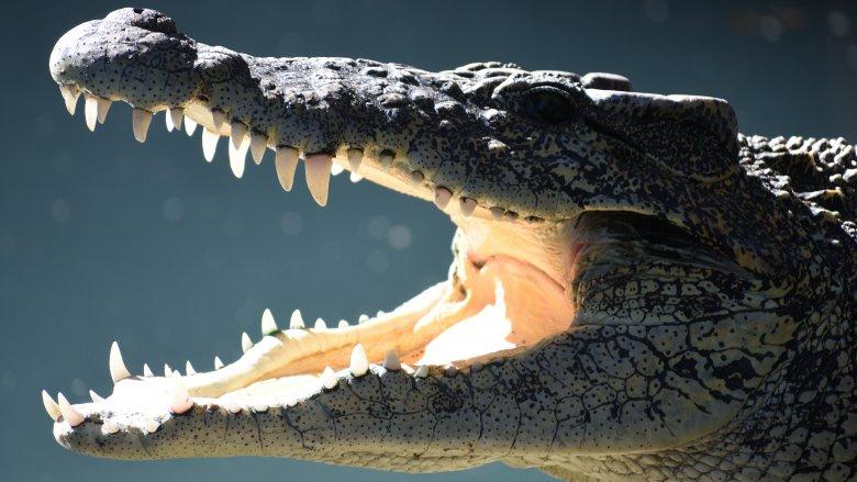 Saltwater Crocodile, Nile