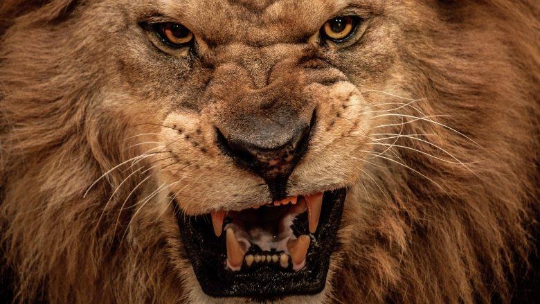 Lion, Eat, Roar