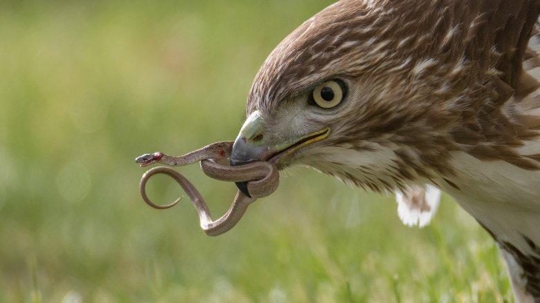Bird eats snake
