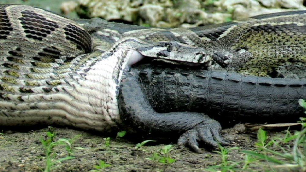 Snake eating alligator