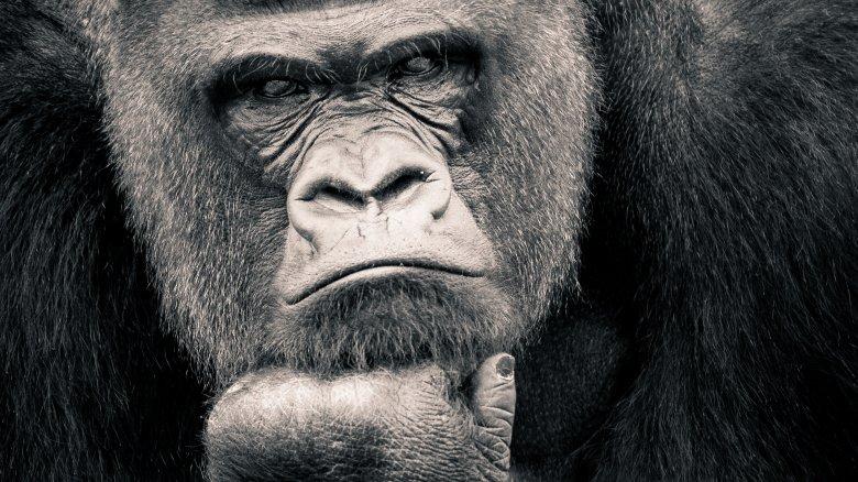 Gorilla,Smart