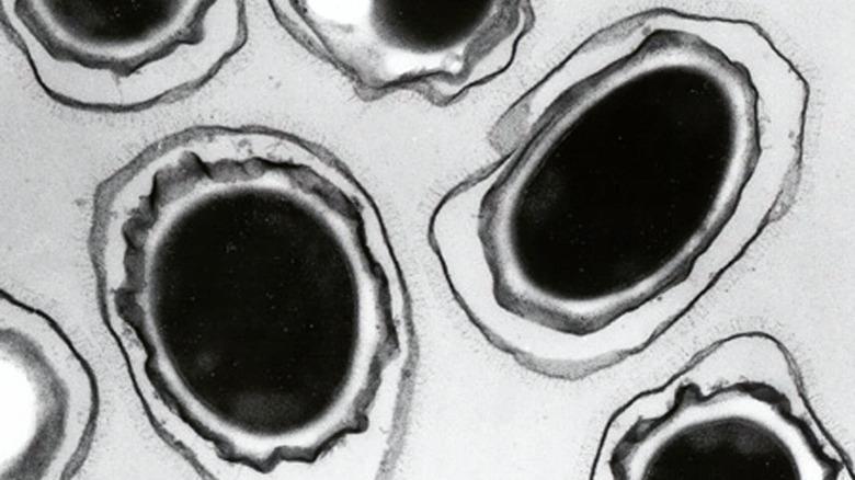 Bacillus anthracis spores