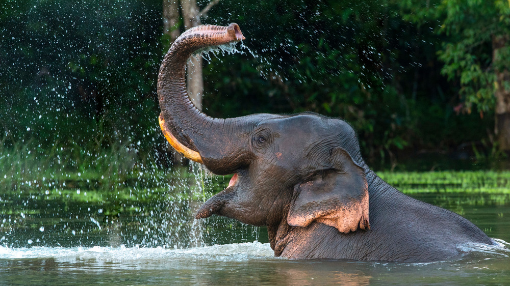 An Asian elephant bathing