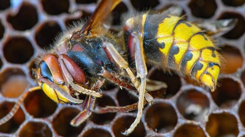dead hornet lying on honeycomb