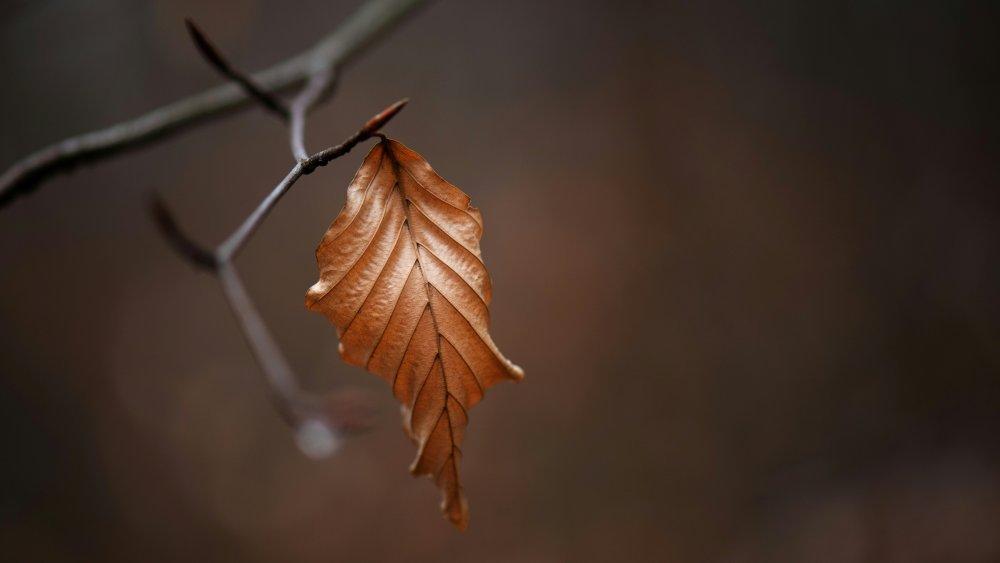 Dead Leaf, Plant, Tree