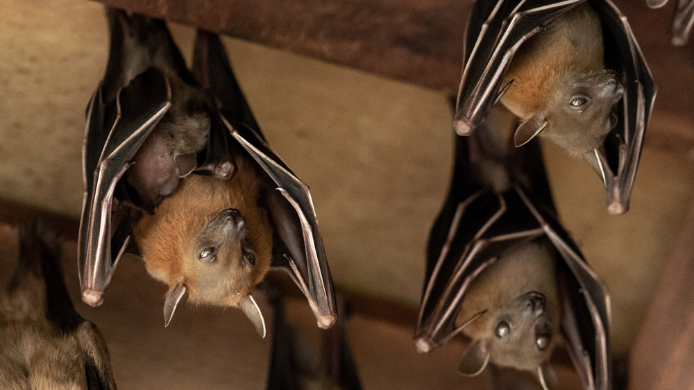 A photograph of a few bats hanging upside down from wooden rafters