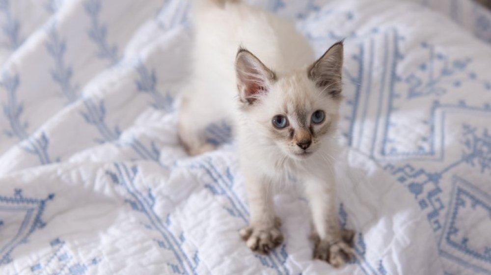 Kneading cat