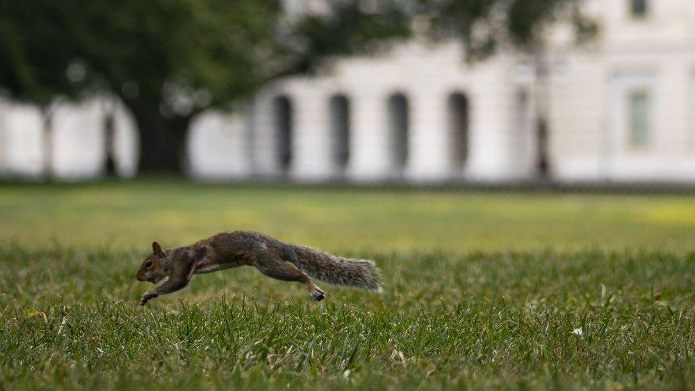 D.C. squirrel