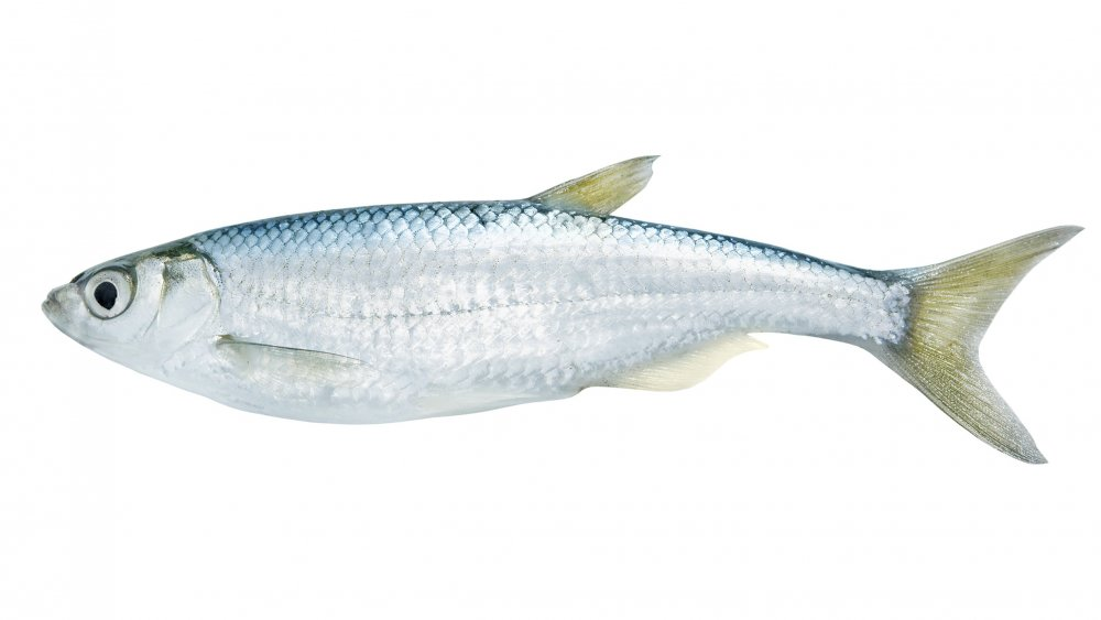 Small freshwater fish on white background