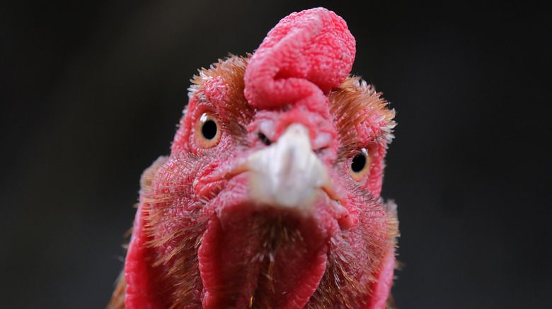 Close up of a rooster's face