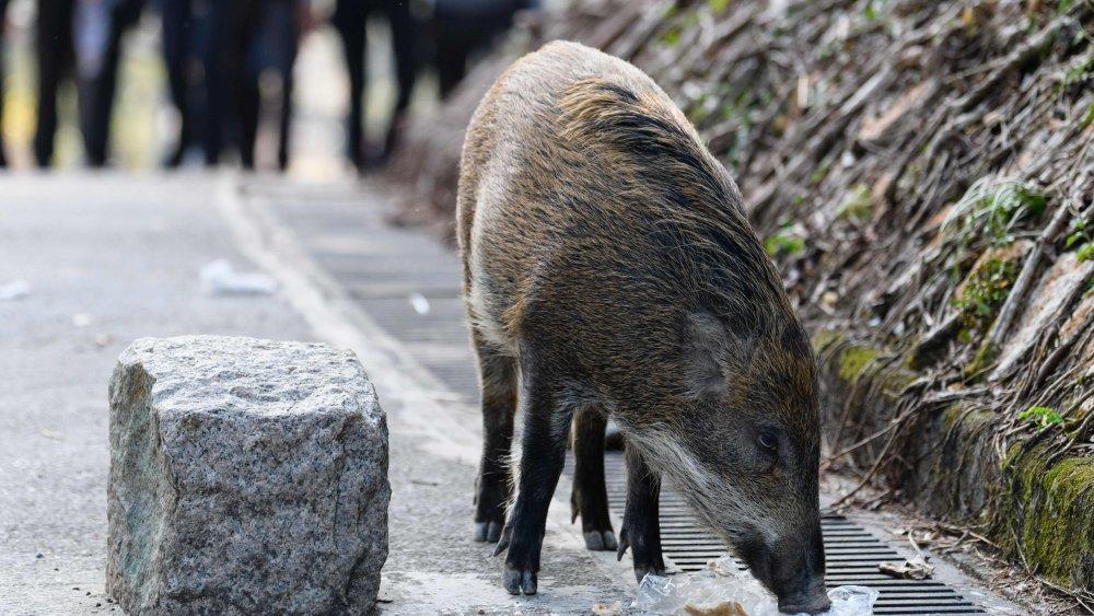 boar, sniffing