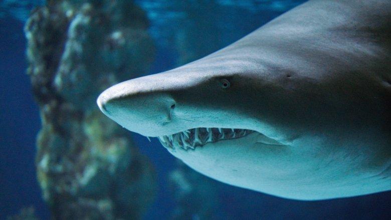 Shark Attack Nose